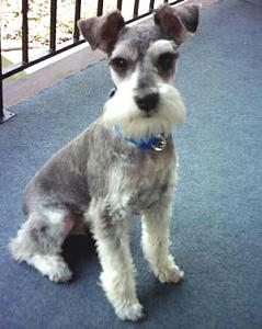Click image for larger version  Name:Schnauzer.jpg Views:36 Size:21.4 KB ID:1353