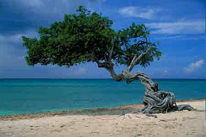 DiviDivi Tree.jpg