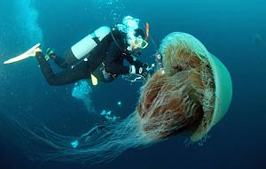 Click image for larger version  Name:GiantJelly.jpg Views:117 Size:103.9 KB ID:149