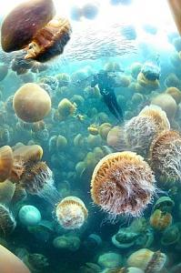 Click image for larger version  Name:GiantJellies4.jpg Views:61 Size:128.2 KB ID:152