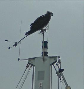 Return of the Osprey.jpg